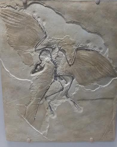 Archeopteryx - the link between the great groups of reptiles and birds!
